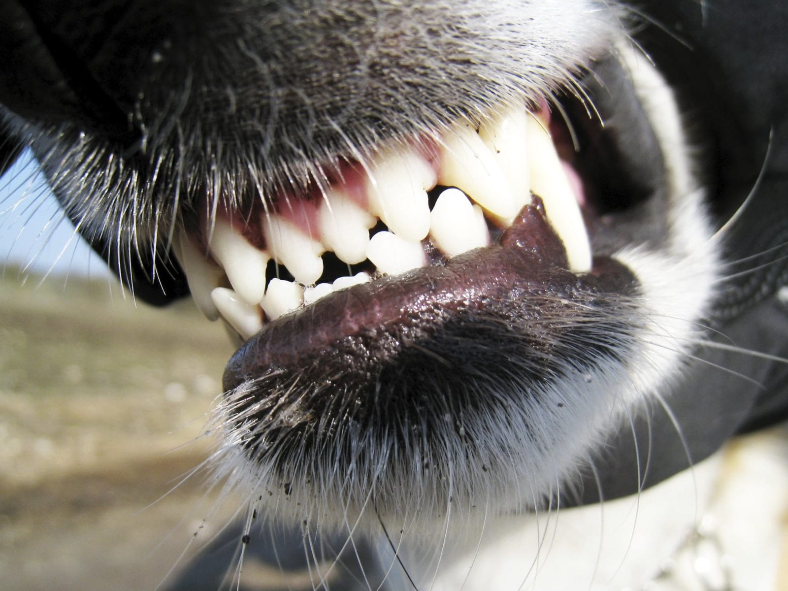 Snarling Dog Stock Photo